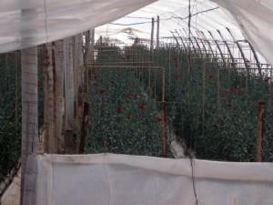 Invernadero de clavel en Canara