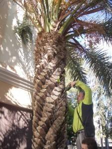 Operario aplicando el tratamiento a una de las palmeras
